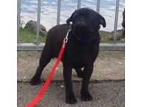 All black boy pug puppy 7 months old kc reg