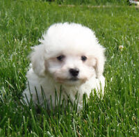 True Tiny Teacup Size Shihpoo Puppies