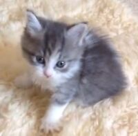 A domestic female kitten wanted.