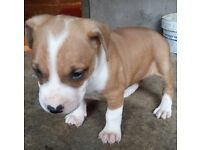 Beautiful American bulldog puppies for sale
