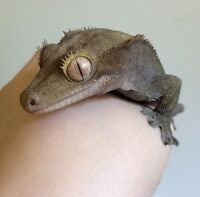 Crested gecko for aale