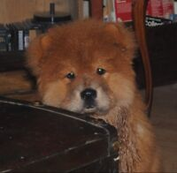 CHOW CHOW PUPPIES: adorable, cuddly, highly intelligent