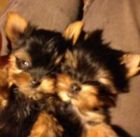 CKC Registered Yorkshire Terrier Puppies
