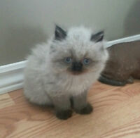 EXTREME FLAT FACE-BEAUTIFUL PERSIAN KITTENS-AWESOME PRICE