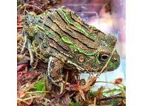 African bull frog