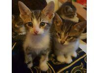 Cornish cross kittens for sale