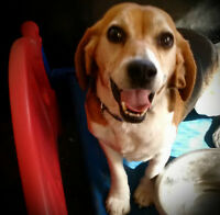 well mannered beagles need new homes