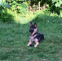 CKC Reg. Top Quality German Shepherd Puppies