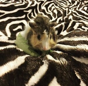 2 guinea pigs for sale (package)