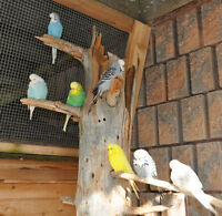 English Show Budgies