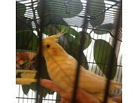 A pair of rare stunning lutino cockatiels and large cage