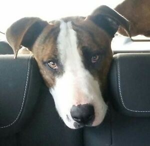 Loving family dog - temporary home required Griffin Pine Rivers Area Preview
