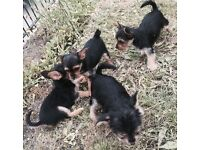 Cross bread Pomeranian and Yorkshire puppy's for sale