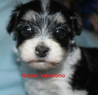 HAVANESE PUPPIES (REGISTERED) FROM GRAND CHAMPION