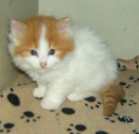 BEAUTIFUL KITTEN AVAIL @ PETS NEED LOVE 2 RESCUE IN VERNER