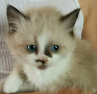 Two Healthy Ragdoll kittens! Ready now!