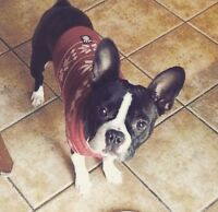 Boston Terrier for Sale- SERIOUS INQUIRIES ONLY