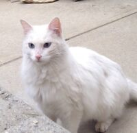 Found white long hair cat with blue eyes and pink nose