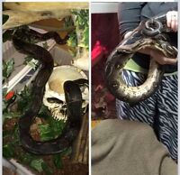 8 foot red tail boa
