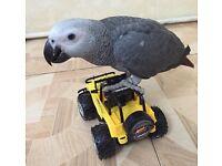 Supertame to Africagrey parrots