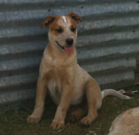 Working Cattle Dog Puppies For Sale