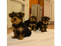 AKC YORKIE PUPS - 2M/2F, Adorable Baby doll faces