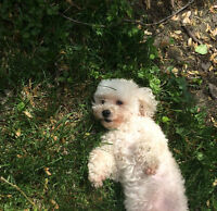 (Gone - pending approval) Female Maltipoo