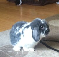 Holland Lop Rabbit - PRICE NEGOTIABLE