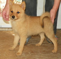 Finnish Spitz Puppies For Sale