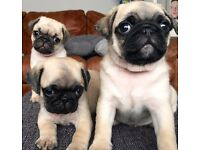 Pedigree fawn pug puppy's boys ready now