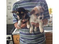 Jug Girl Pups 8 Weeks old. Can deliver.