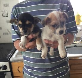 Jug Puppies 8 Weeks Old Can Deliver