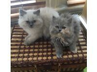 Gorgeous pure Persian kittens