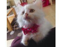 Cross rag doll kitten for sale