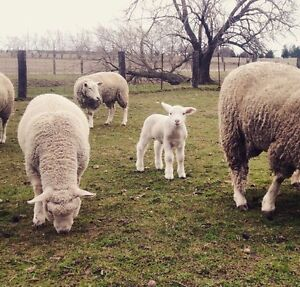 Spring lambs for sale