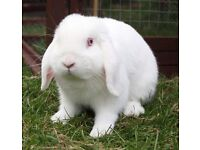 Male mini lop red eyed white rabbit