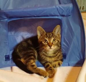 Angel~Kitten for Adoption! Kawartha Lakes Peterborough Area image 2