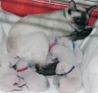 Purebred Sealpoint Siamese kittens