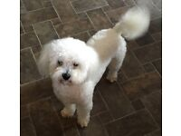 9month pedigree Bichon frise puppy