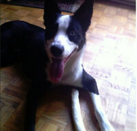 2 Year old Siberian Husky mix needs a new home