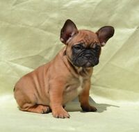 French bulldog/ bulldog francais