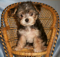 ❤️ Tiny Morkie puppy - Maltese x Yorkie ~ * Non shed