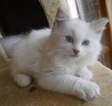 not selling! wanted WHITE MALE kitten. Cranbourne Casey Area Preview