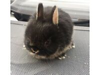 Netherland dwarf baby rabbits 2 left to be reserved