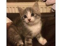 Grey & white boy kitten