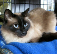 Leah Siamese Spayed & Declawed for Adoption