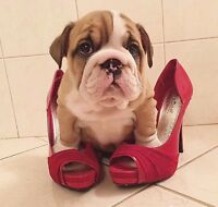 Im looking for a bulldog puppy