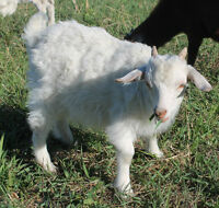 ANGORA GOAT BABIES 3 MONTHS OLD