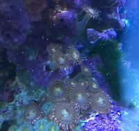 Pink Zoas / coral / saltwater