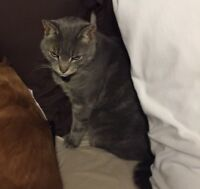 """Lost Grey Cat """"Linden"""" - Copperfield/Copperpond"""